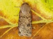 2087 Turnip Moth (Agrotis segetum)2