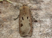 2089 Heart & Dart (Agrotis exclamationis)