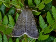 2104 Northern Rustic (Standfussiana lucernea)