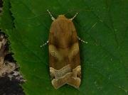 2110 Broad-bordered Yellow Underwing (Noctua fimbriata)