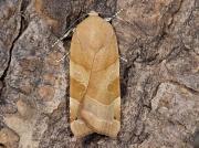 2110 Broad-bordered Yellow Underwing (Noctua fimbriata) - female