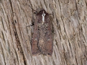 2119 Pearly Underwing (Peridroma saucia)