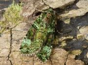 2138 Green Arches (Anaplectoides prasina)