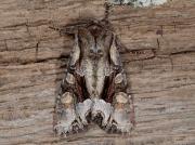 2157 Light Brocade (Lacanobia w-latinum)