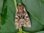 2158 Pale-shouldered Brocade (Lacanobia thalassina)