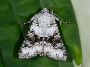 2164 Broad-barred White (Hecatera bicolorata)