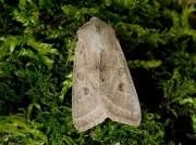 2186 Powdered Quaker (Orthosia gracilis)