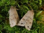 2189 Twin-spotted Quaker (Orthosia munda)
