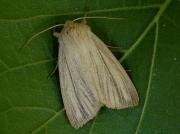 2196 Striped Wainscot (Mythimna pudorina)