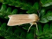 2199 Common Wainscot (Mythimna pallens)