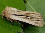 2205 Shoulder-striped Wainscot (Mythimna comma)