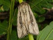 2206 Devonshire Wainscot (Mythimna putrescens)