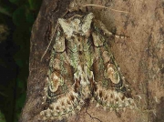 2245 Green-brindled Crescent (Allophyes oxyacanthae)