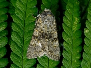 2253 Black-banded (Polymixis xanthomista)