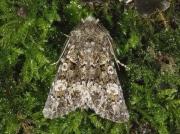 2255 Feathered Ranunculus (Polymixis lichenea)