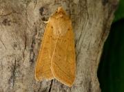 2264 Yellow-line Quaker (Agrochola macilenta)