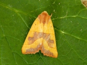 2269 Centre-barred Sallow (Atethmia centrago)