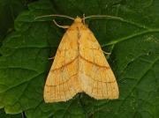 2271 Orange Sallow (Xanthia citrago)