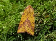 2273 Pink-barred Sallow (Xanthia togata)