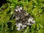 2291 The Coronet (Craniophora ligustri)