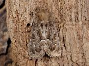2303 Straw Underwing (Thalpophila matura)