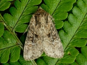 2331 Small Clouded Brindle (Apamea unanimis)