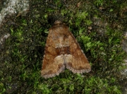 2340 Middle-barred Minor (Oligia fasciuncula)