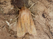 2350 Small Wainscot (Chortodes pygmina)