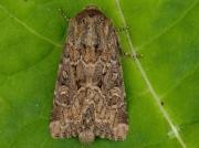 2353 Flounced Rustic (Luperina testacea)