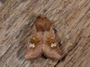 2360 Ear Moth (Amphipoea oculea)