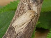 2369 Bulrush Wainscot (Nonagria typhae)