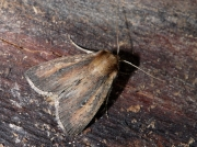 2371 Brown-veined Wainscot (Archanara dissoluta)
