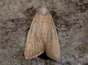 2379 Small Rufous (Coenobia rufa)