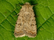 2389 Pale Mottled Willow (Paradrina clavipalpis)