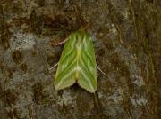 2422 Green Silver-lines (Pseudoips prasinana)