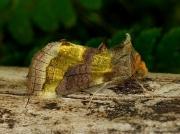 2434 Burnished Brass (Diachrysia chrysitis)