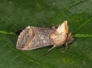 2449 Dark Spectacle (Abrostola triplasia)