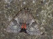 2452 Red Underwing (Catocala nupta)