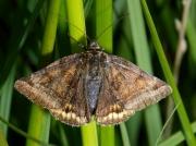 2463 Burnet Companion (Euclidia glyphica)