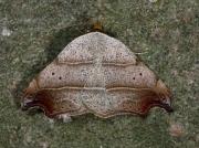 2473 Beautiful Hook-tip (Laspeyria flexula)