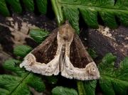 2476 Beautiful Snout (Hypena crassalis)