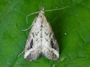 2484 Pinion-streaked Snout (Schrankia costaestrigalis)