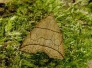 2492 Small Fan-foot (Herminia grisealis)