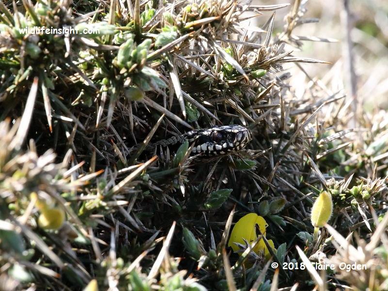 Adder (Vipera berus) -  the venomous Common European Viper at Porthgwarra Cornwall © 2018 Claire Ogden