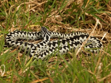 Adder (Vipera berus) - male