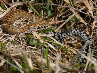 Adder (Vipera berus) - male and female