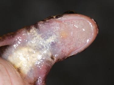 Palmate Newt (Lissotriton helveticus) - female throat