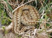 Adder (Vipera berus) - female