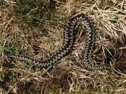 Adder (Vipera berus) - male