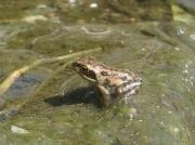 Common Frog (Rana temporaria) - froglet